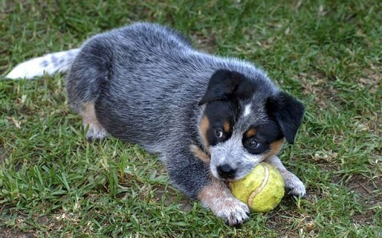Australian Cattle Dog Puppies playing a ball