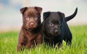 Australian Kelpie Puppies Development Stages