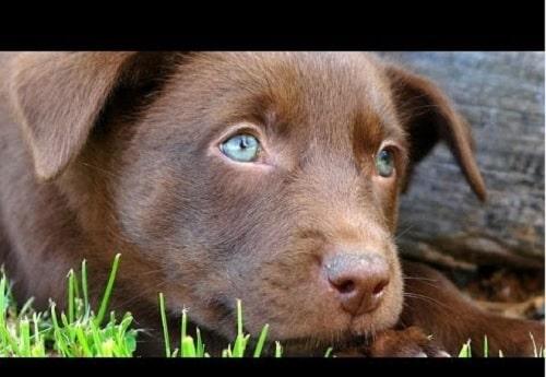 Australian Kelpie cute little puppy