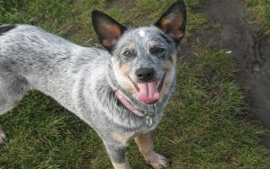 Australian Stumpy Tail Cattle Dog Behavior and training
