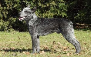 Australian Stumpy Tail Cattle Dog Diets and Supplements