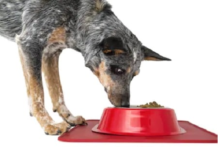 Australian Stumpy Tail Cattle Dog eating its meal