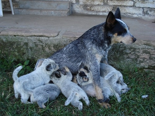 Australian Stumpy Tail Cattle Dog feeding her puppies