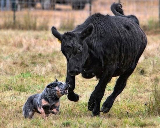 Australian Stumpy Tail Cattle Dog herding cow