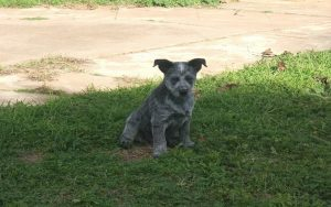 Australian Stumpy Tail Cattle Dog puppies development stage