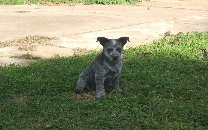 Australian Stumpy Tail Cattle Dog puppies development stage