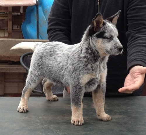 Australian Stumpy Tail Cattle Dog puppy learning to give its paw