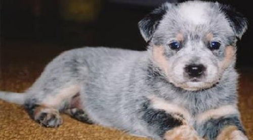 Australian Stumpy Tail Cattle Dog puppy sitting on the floor