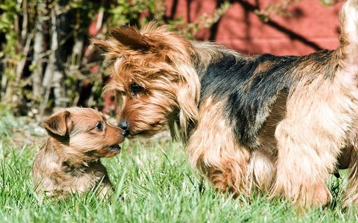 Australian Terrier puppies development stage