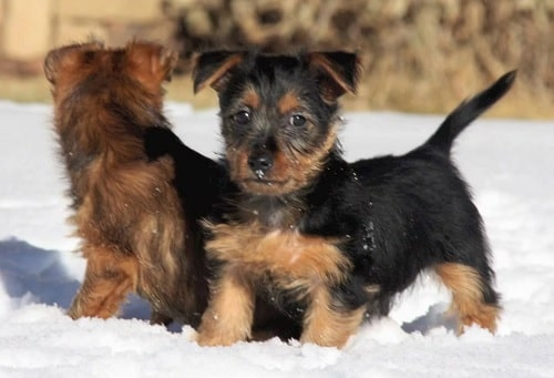 Australian Terrier puppies playing on the snow