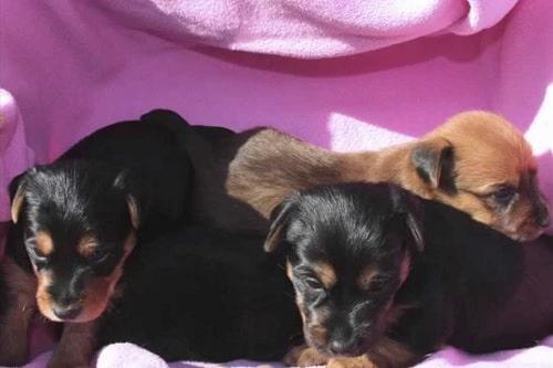 Australian Terrier puppies playing