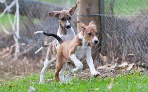 Azawakh Puppies development stages