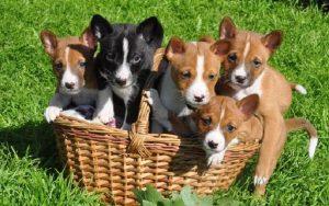 Basenji Puppies Development Stage