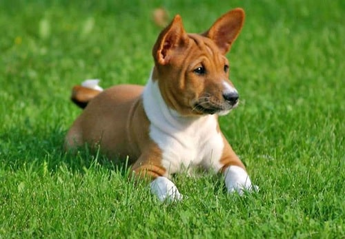 Basenji Puppy sitting on the grass