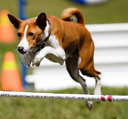 Basenji dog agility training