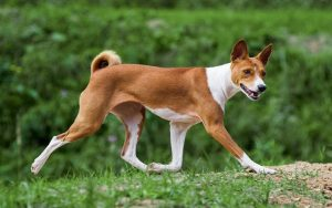 Basenji dog training methods