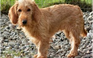 Basset Fauve de Bretagne diet and supplements