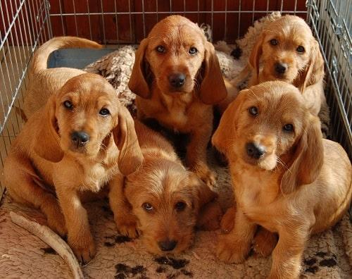 Basset Fauve de Bretagne puppies in a basket