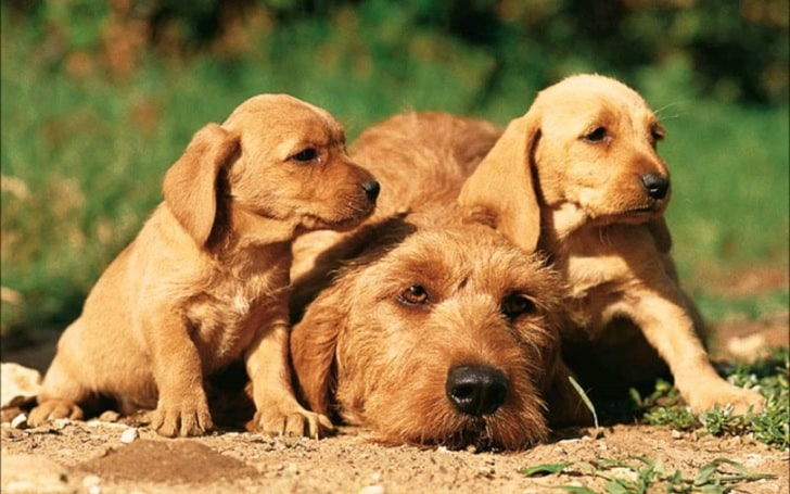 Basset Fauve de Bretagne puppy development stage