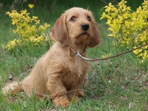Basset Fauve de Bretagne puppy on the park