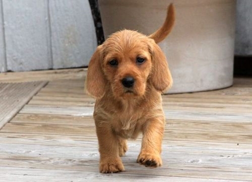 Basset Fauve de Bretagne puppy walking