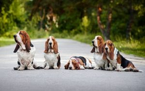 Basset Hound Training Methods and Techniques