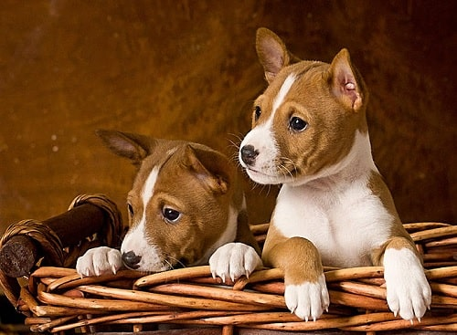 Cute little Basenji puppies