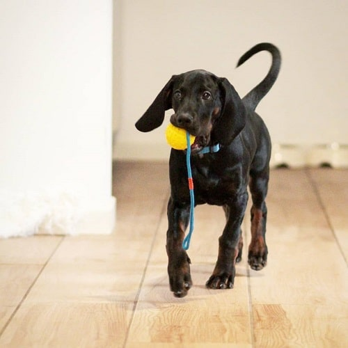 Polish Hunting Dog Playing with Ball