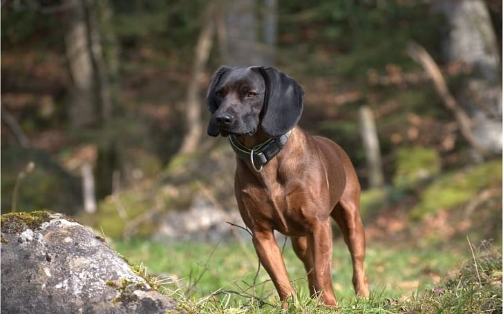 Bavarian Mountain Scent Hound Diets and Supplements