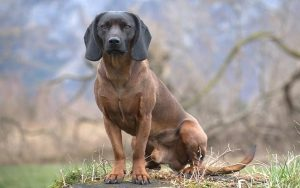 Bavarian Mountain Scent Hound Training Methods and Strategies