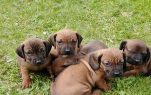 Bavarian Mountain Scent Hound puppies development stages
