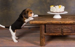 Beagle Diets and Supplements
