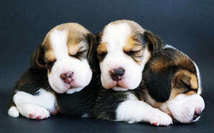 Beagle Puppies Development Stage