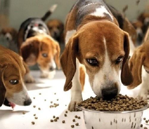 Beagle eating kibbles