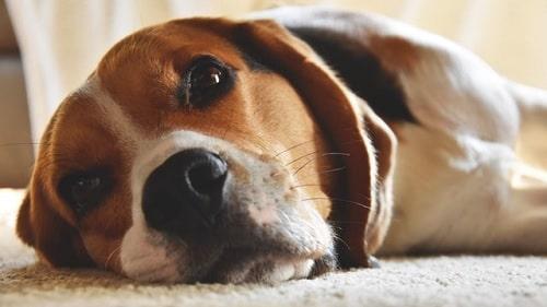 Beagle laying down