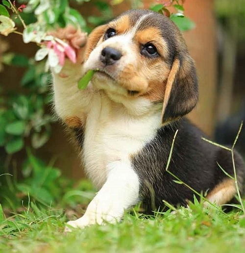 Beagle puppy playing with flower