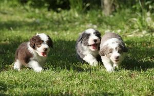 Bearded Collie Puppies Development and Behavior