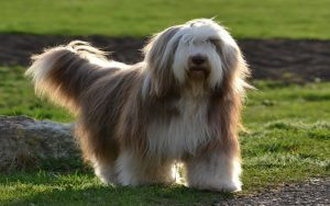 Bearded Collie Training Methods and Strategies