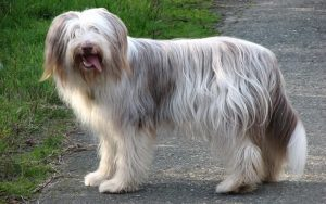 Bearded Collie diets and supplements
