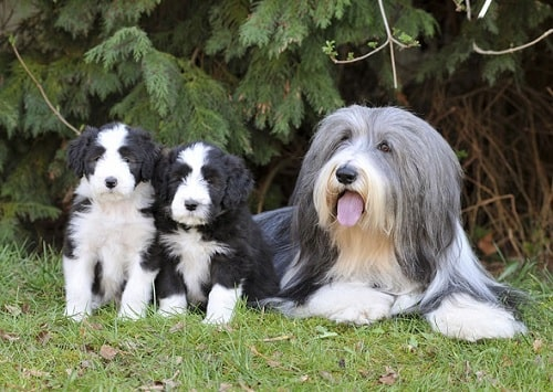 Bearded Collie puppies sitting with their mother
