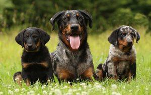 Beauceron Puppies Development and Behavior