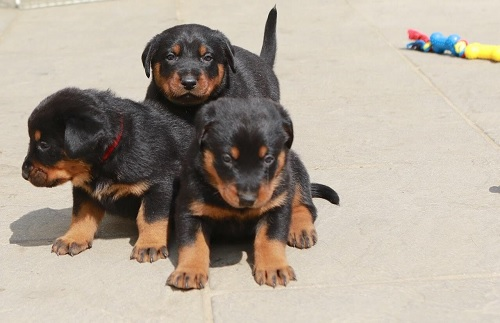 Beauceron Puppies playing