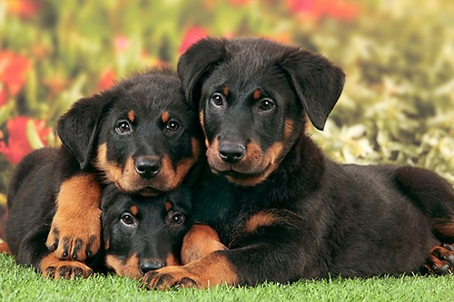 Beauceron Puppies sitting with their mother