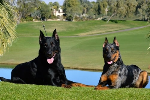 Beaucerons sitting