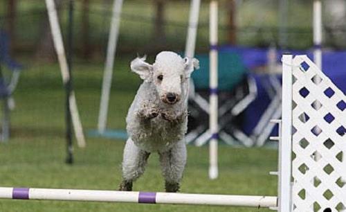 Bedlington Terrier Agility