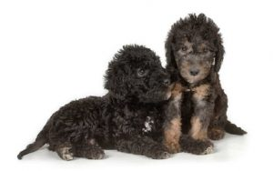 Bedlington Terrier Puppies development stages and behavior