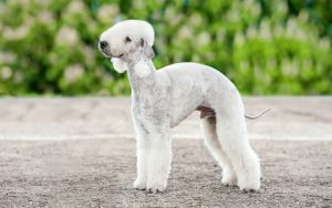 Bedlington Terrier Training