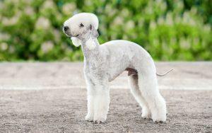 Bedlington Terrier Training