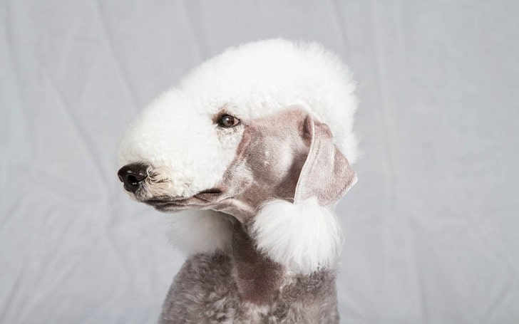 Bedlington Terrier diets and feeding methods