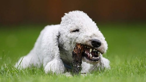 Bedlington Terrier playing with wood